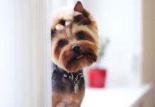 Jak dbać o sierść długowłosego psa?